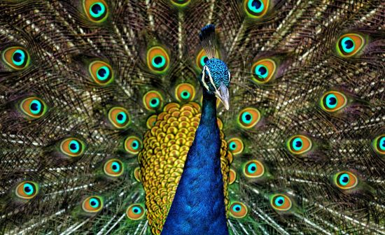 Peacock w/ plumage